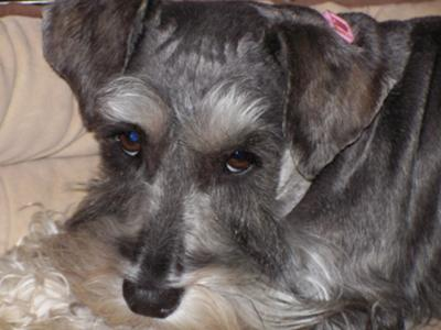 Miniature Schnauzer, Lucy-Belle  -- Schnauzer of the Month April 2010