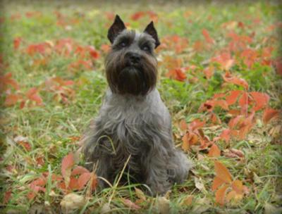 Miniature Schnauzer, Fall Time