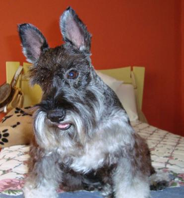 Miniature Schnauzer, Happy to see mommy!!! XD