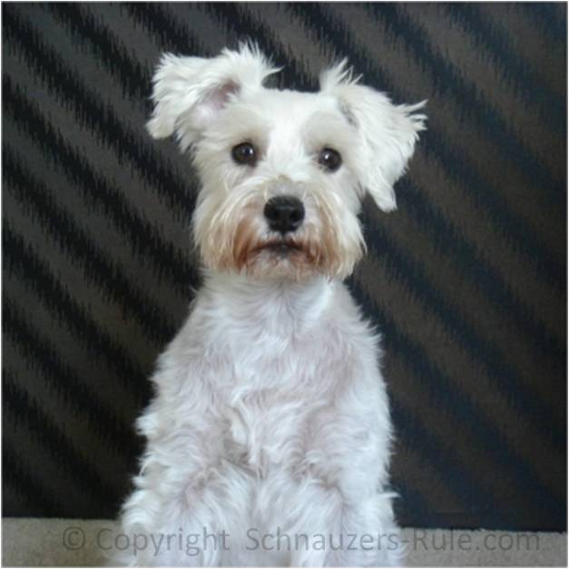 Schnauzer. They usually appear on the dog's back and are harmless