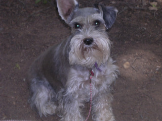 Miniature Schnauzer, Not me mommy!