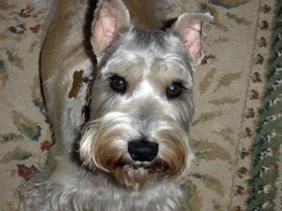 Miniature Schnauzer, Buckley