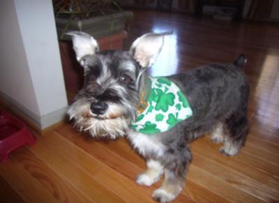 Miniature Schnauzer, Happy St. Patrick's day!  Arrooo!