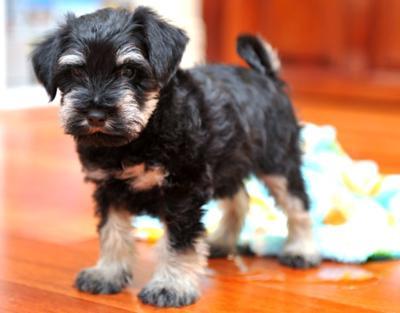 Miniature Schnauzer Puppy, Oops