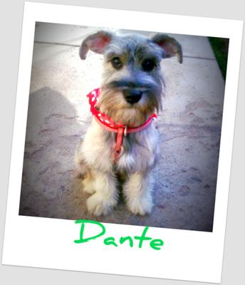 Miniature Schnauzer Puppies Info Photos Videos
