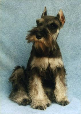 Miniature Schnauzer Dollar at four months