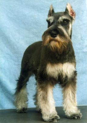 Miniature Schnauzer Dollar also at four months