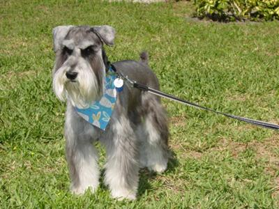 Miniature Schnauzer, Ebenezer looking for Easter eggs!