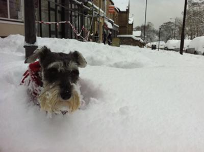 Miniature Schnauzer Evie romping in the snow
