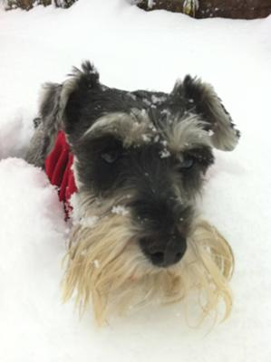 Miniature Schnauzer Evie in the snow