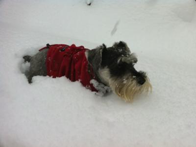 Miniature Schnauzer Evie tunneling thru the snow