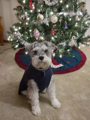 Mini Schnauzer Fizzy Under Christmas Tree