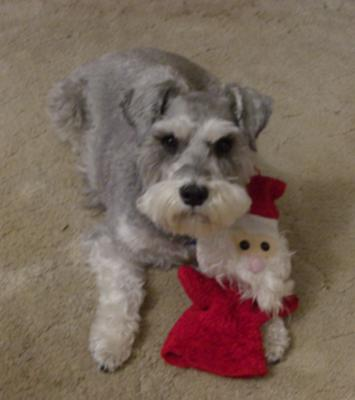 Schnauzer Fizzy with Santa Toy