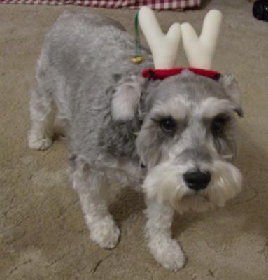 Schnauzer Fizzy the Reindeer