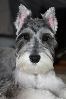 5 year old miniature schnauzer for sale