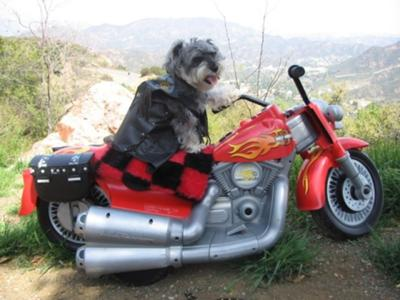 Miniature Schnauzer, Harley Hanz loves 2 ride!