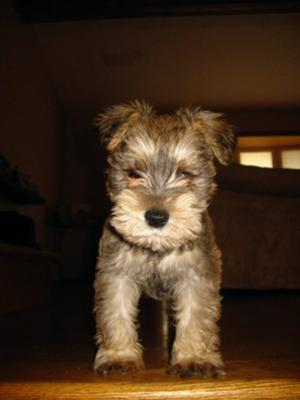 Miniature Schnauzer, or is this a stuffed animal?
