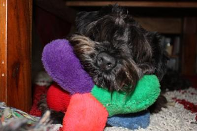 Miniature Schnauzer, kipper with his favorite toy