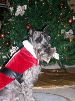 Christmas Schnauzer Luke