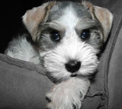 Mini Schnauzer puppy Flossy