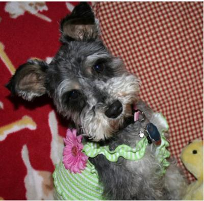 Miniature Schnauzer, Mia in her Easter Dress