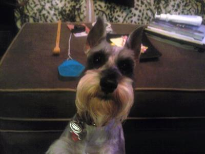 Miniature Schnauzer, Mr. Myles very alert after asking him if he wants to go bye-bye!