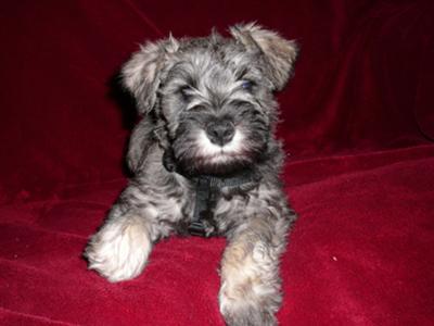Miniature Schnauzer Puppy, 8 week old beauty princess Neeka