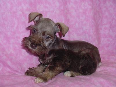 Miniature Schnauzer Puppies Info Photos Amp Videos