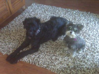 Miniature Schnauzer, Ozzy and Max