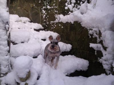 Miniature Schnauzer, sheesh its cold!!!