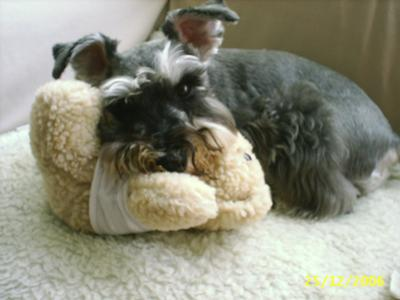 Miniature Schnauzer, Don't touch my toy! It's MINE!!