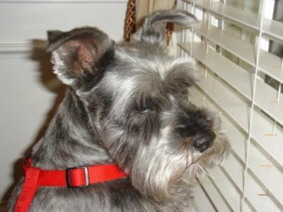 Miniature Schnauzer Pepper
