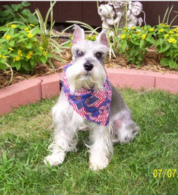 Schnauzer July Fourth