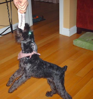 Miniature Schnauzer, Loves a good Tug-A-War!