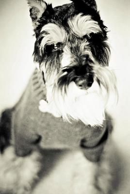Miniature Schnauzer, Model Behavior