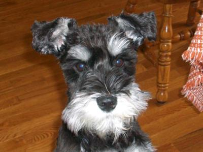 Dog Ear Cleaning For Schnauzers