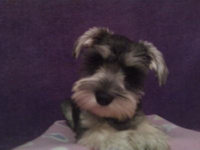 Miniature Schnauzer Puppy Roxy