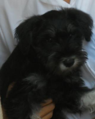 Miniature Schnauzer Puppy Schnapps