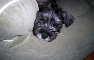 Miniature Schnauzer Puppy Schultz