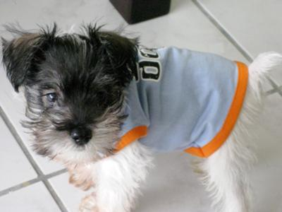 Miniature Schnauzer, One of a Kind!!!!