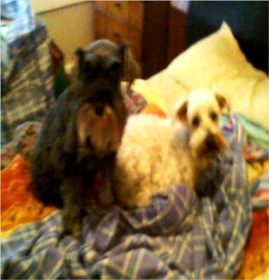 Schnauzer Sybil with Noddy