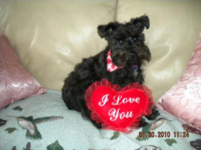 I love You Schnauzer