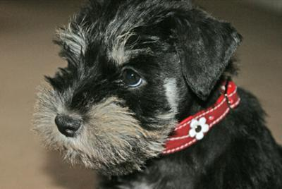 Schnauzer Trudi 'Just So Adorable'