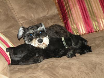 Miniature Schnauzers Dixie and Tex