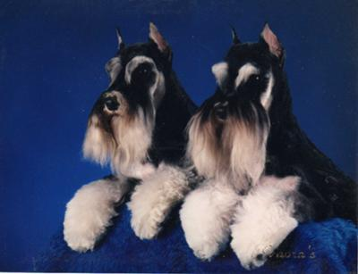 Champion Schnauzers Paycheck and Hotshot