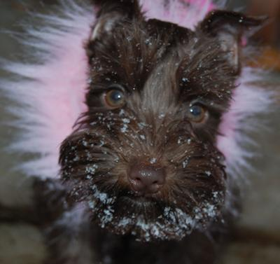 Miniature Schnauzer, Cleo's first snow