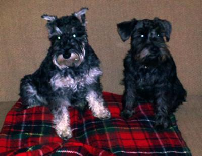 Miniature Schnauzers Miya and Mattie