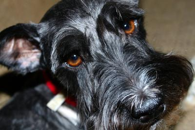 Miniature Schnauzer Kingston