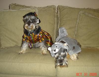 Miniature Schnauzers Dixie and Otto