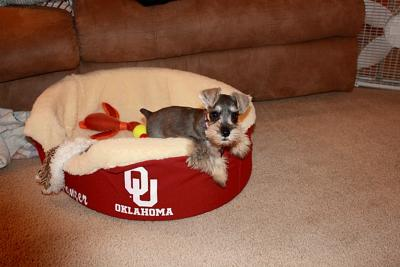 Mini Schnauzer Panzer Cheering for the Sooners